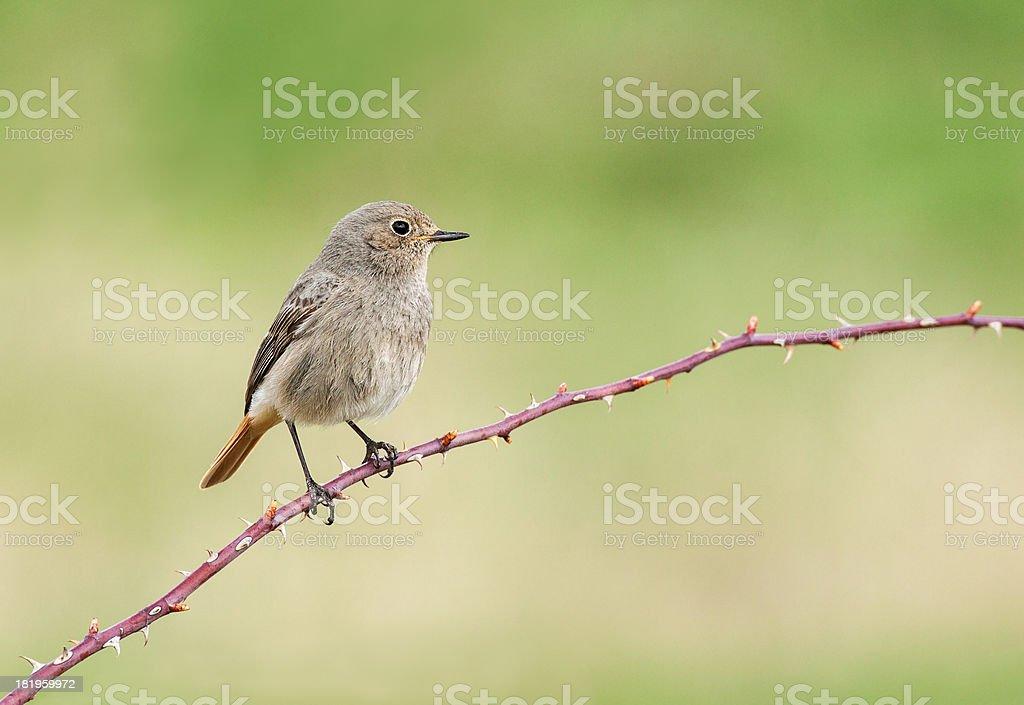 Female Black Redstart (Phoenicurus ochruros) royalty-free stock photo