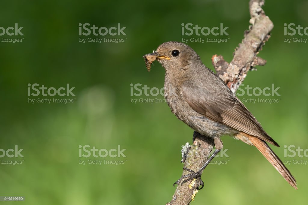 Female black redstart (Phoenicurus ochruros) with insects stock photo