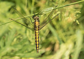 The Black-tailed Skimmer is a narrow-bodied dragonfly that can be seen flying low over the bare gravel and mud around flooded gravel pits and reservoirs.