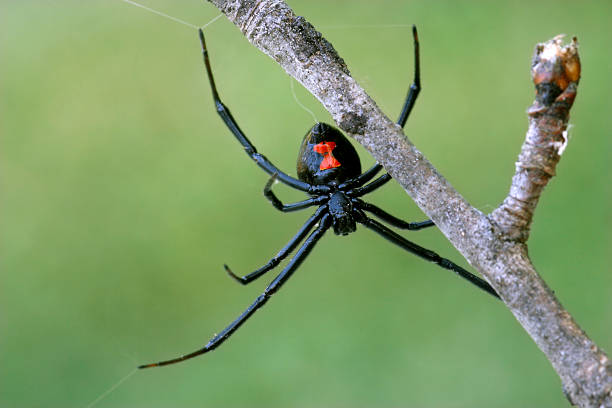 Female black widow spider on a branch stock photo