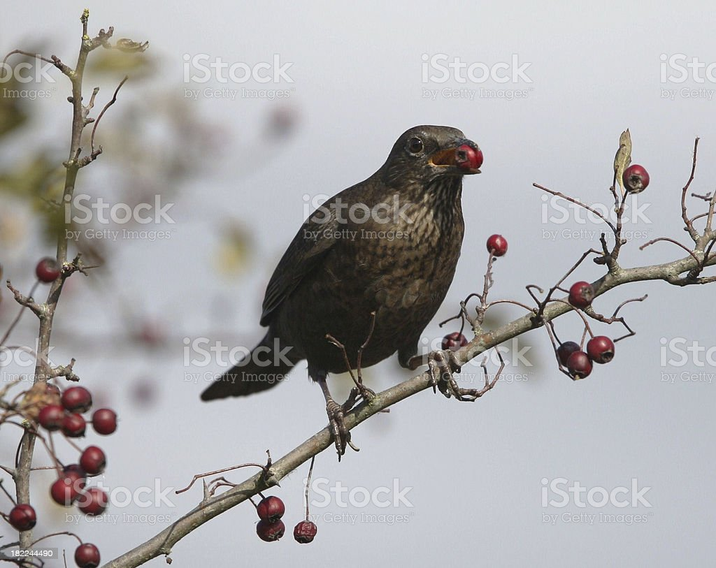 Female Blackbird Eating hawthorn berries royalty-free stock photo