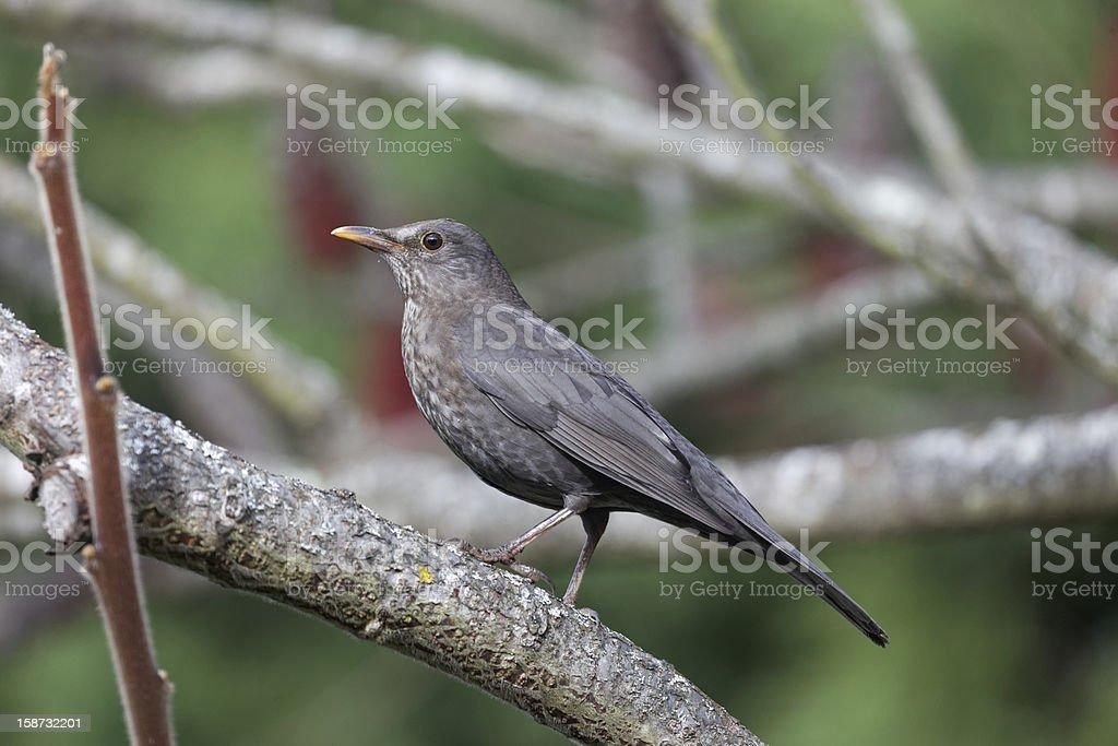 Female blackbird on tree stock photo
