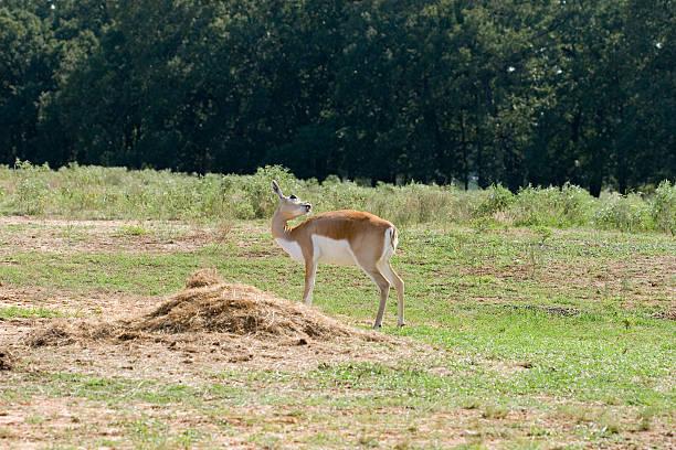 Female blackbuck antelope grooms herself