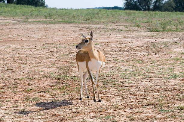 Female blackbuck antelope