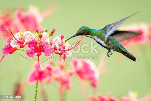 Wildlife in nature, tropical bird in a garden, hummingbird in flight, bird in tropical surrounding.