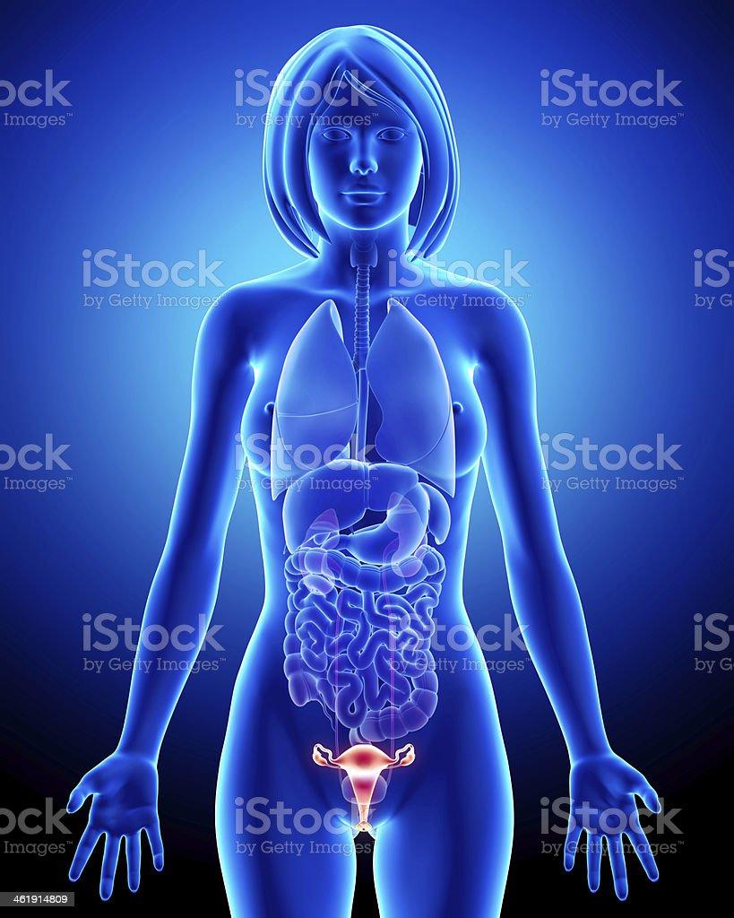 Female bladder anatomy in blue x-ray loop stock photo
