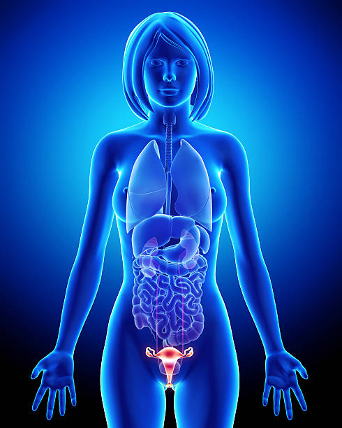 Female bladder anatomy in blue x-ray loop stock photo