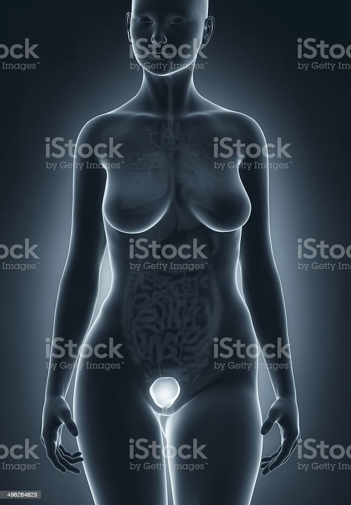 Female Bladder Anatomy Stock Photo More Pictures Of Adult Istock