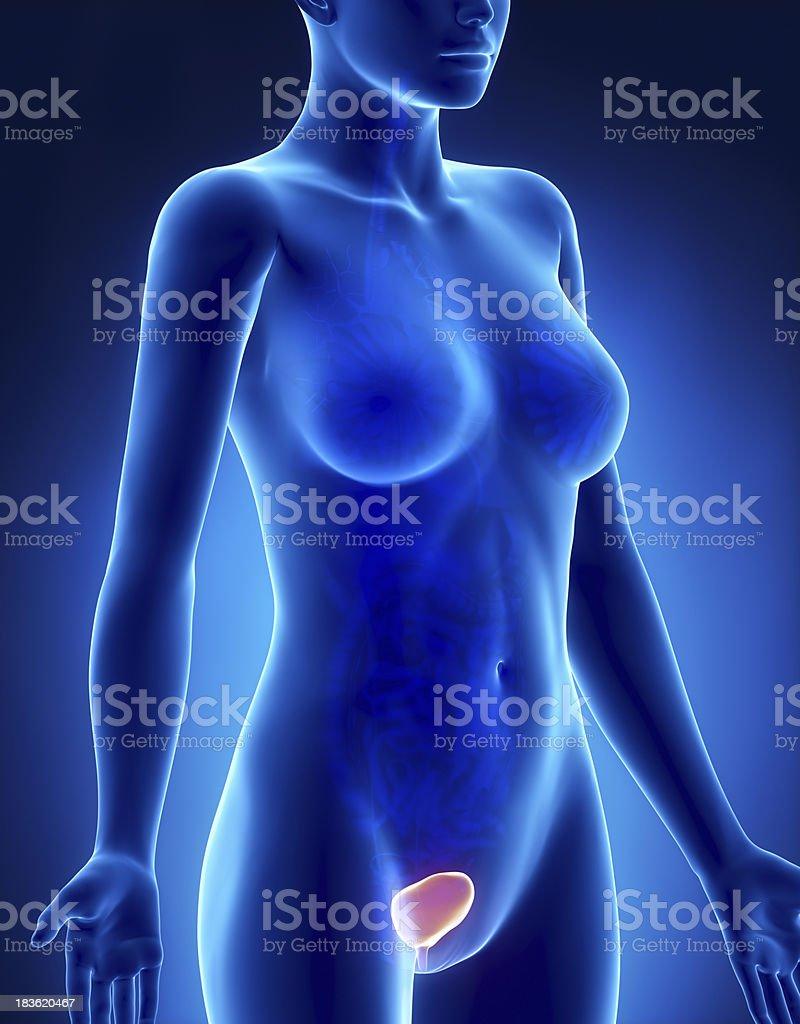 Weibliche Blase Anatomie Seitlichen Blick Auf Xray Stock-Fotografie ...