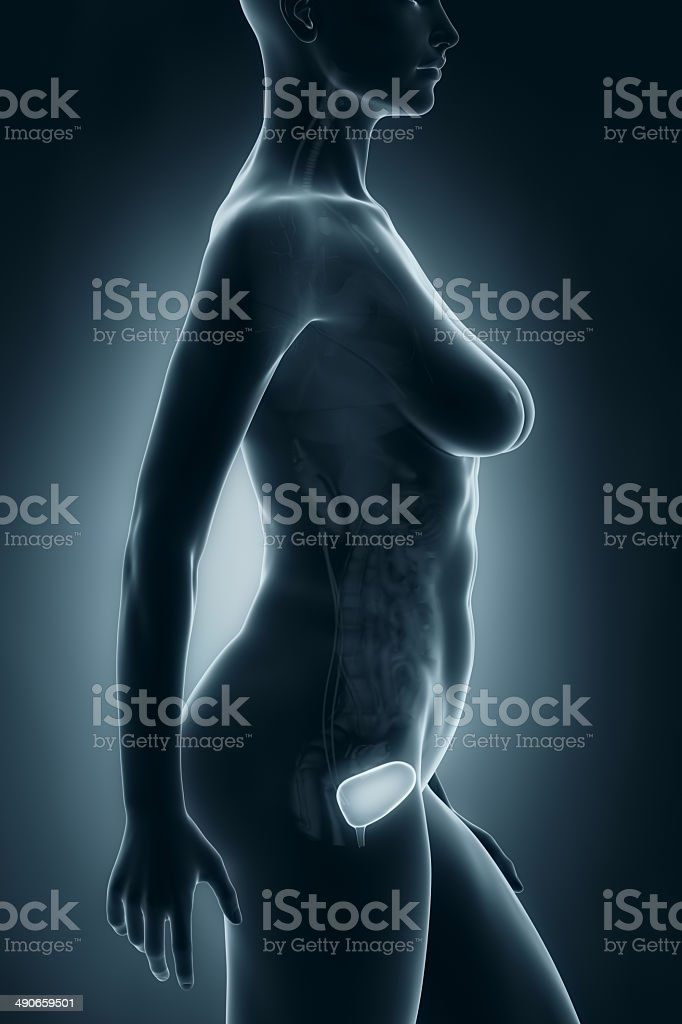 Female Bladder Anatomy Xray Lateral View Stock Photo More Pictures