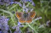 istock Female blue argus, common Azure, (Polyommatus icarus), Common blue. 1261963998
