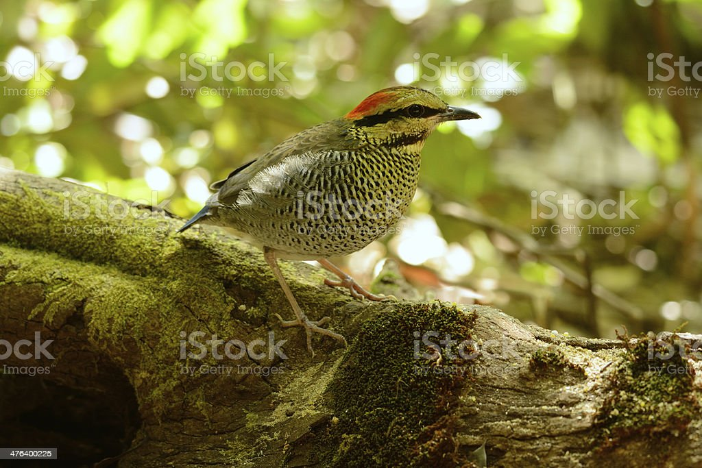female Blue Pitta (Pitta cyanea) beautiful female Blue Pitta (Pitta cyanea) in the middle of Thailand Animal Stock Photo