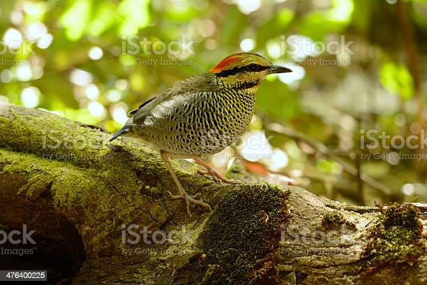 Female Blue Pitta Stock Photo - Download Image Now