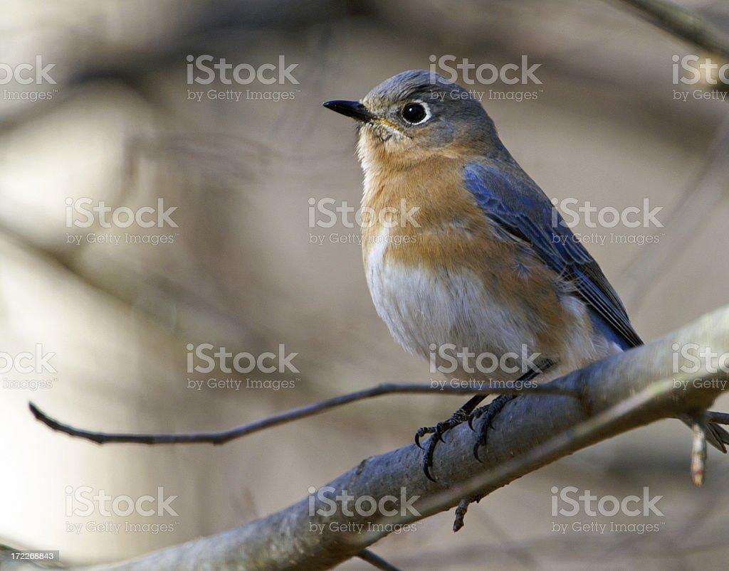 Female Bluebird on Branch royalty-free stock photo