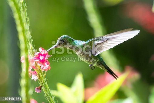 A female Blue-chinned Sapphire feeding on a pink Vervain flower in the morning light with lush foliage around.