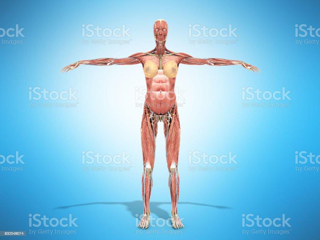 Ein Weiblicher Körper Anatomie Für Bücher 3d Render Auf Weiß Stock ...