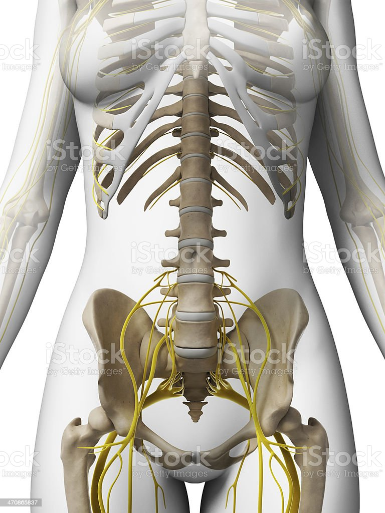 female bones and nerves - lumbar spine stock photo