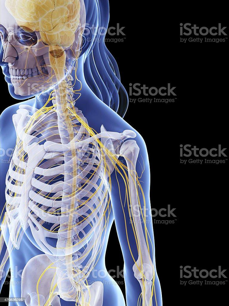 Weibliche Knochen Und Nervenschulter - Stockfoto   iStock