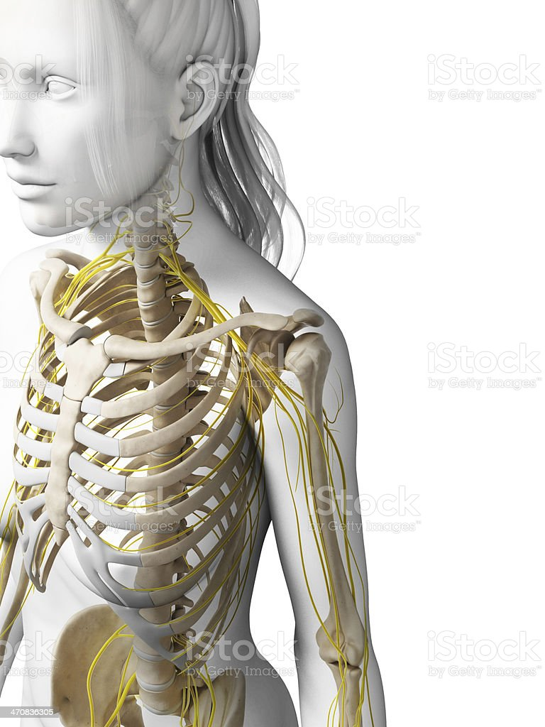 female bones and nerves - shoulder stock photo