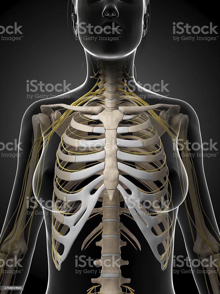 Weibliche Knochen Und Nerventhorax Stock-Fotografie und mehr Bilder ...
