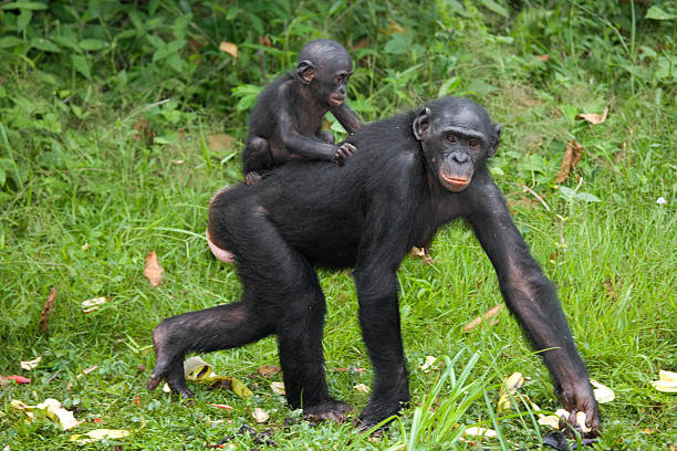 Female bonobo with a baby stock photo