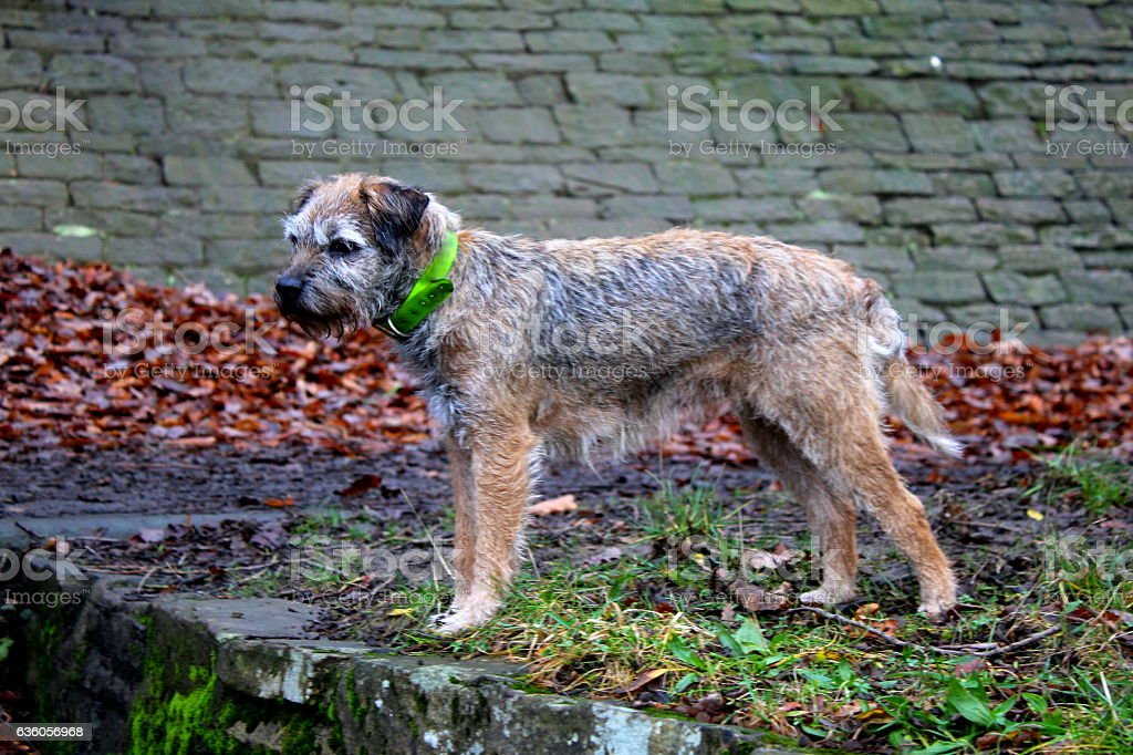 Female Border Terrier looking through woodland, wearing hunting collar stock photo