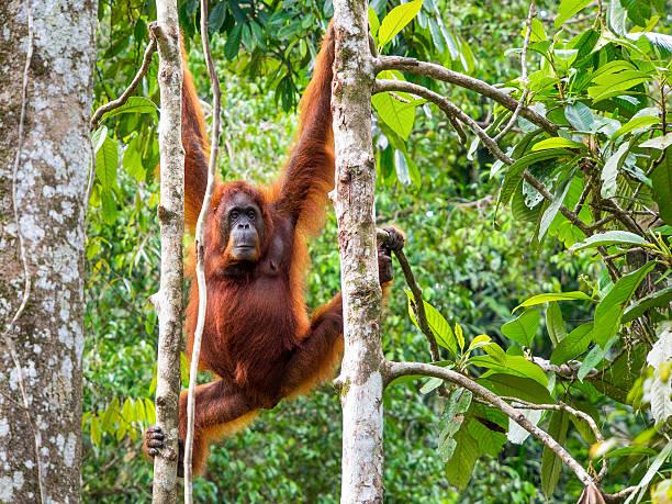 femme orang-outan de bornéo au semenggoh réserve naturelle, kuching, malaisie - réserve naturelle photos et images de collection