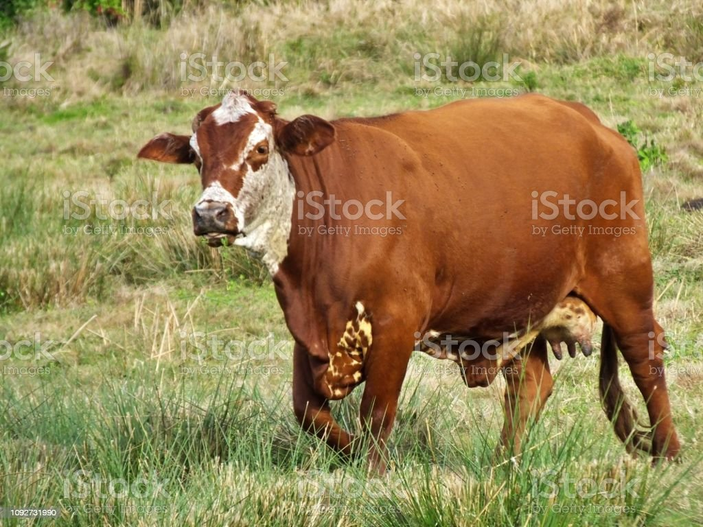 Female Bradford cattle, a cross between a Hereford bull and a Brahman cow, had grazed in a field stock photo