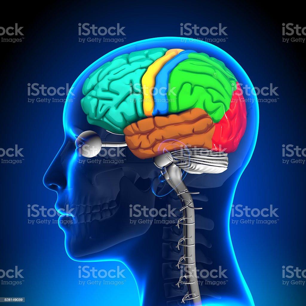 Female Brain Anatomy Colored stock photo | iStock