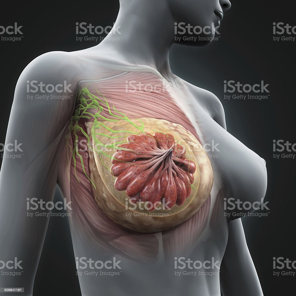 Female Breast Anatomy Stock Photo & More Pictures of Anatomy | iStock
