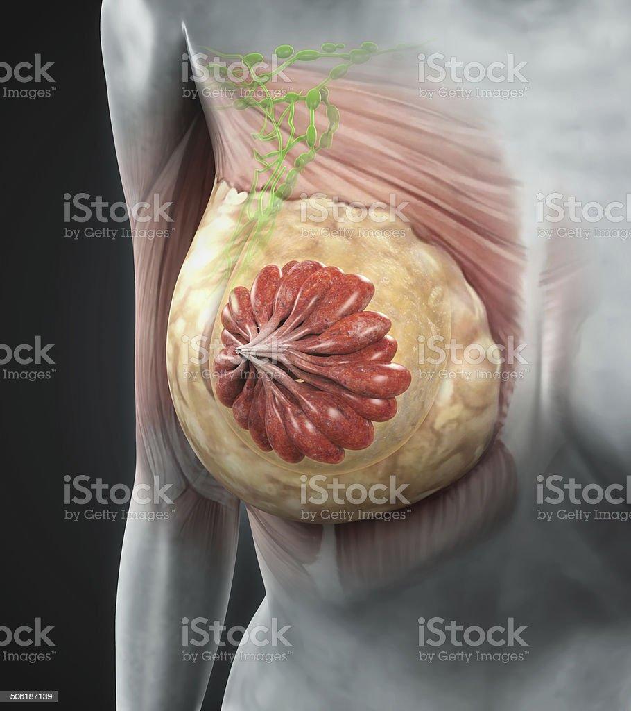 Fotografía de Anatomía De Mama Femenino y más banco de imágenes de ...