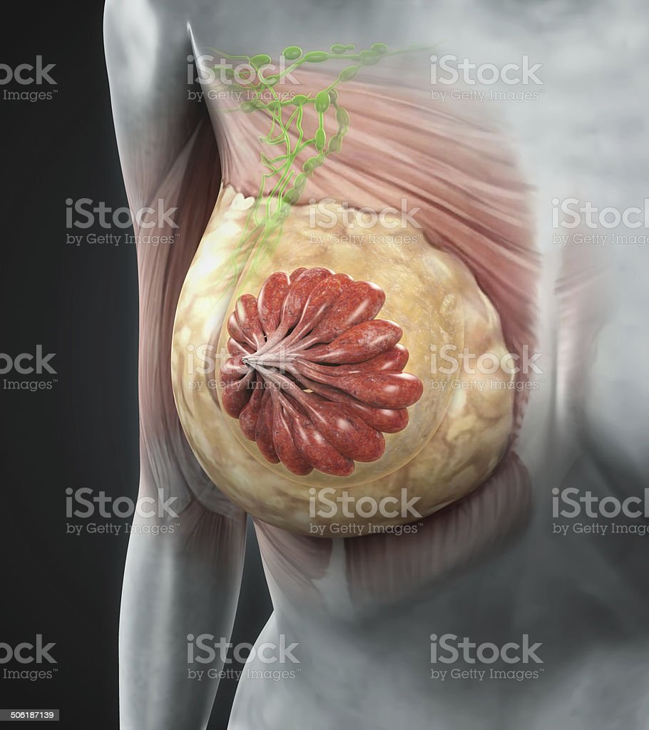 Female Breast Anatomy stock photo