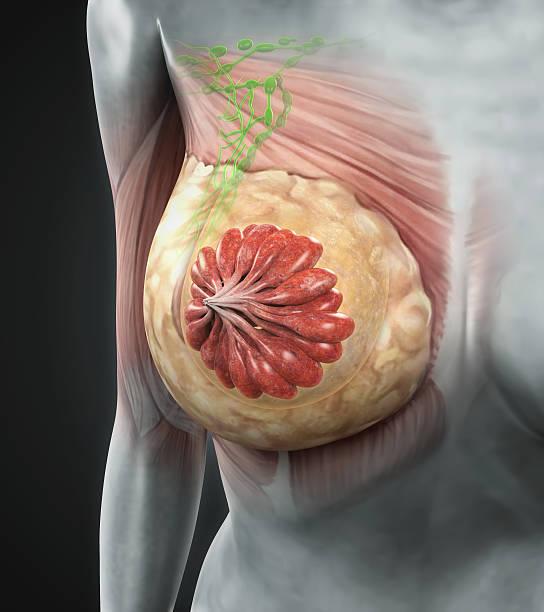 Feminino anatomia peito - foto de acervo