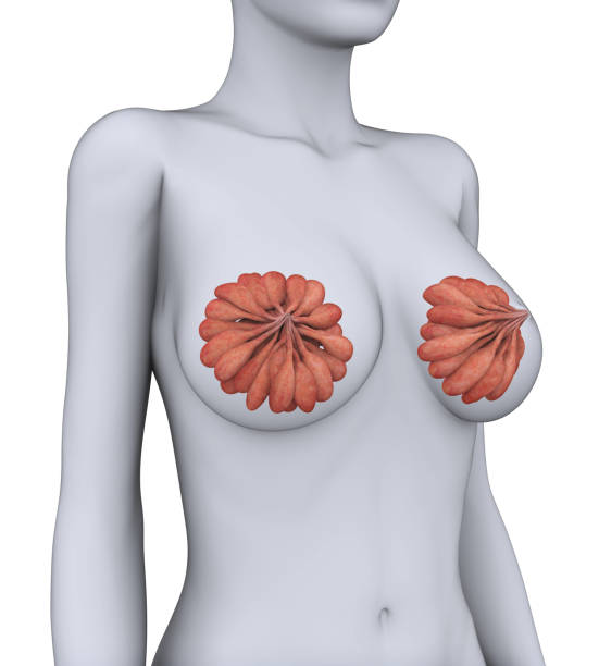 Female Breast Anatomy - foto de acervo