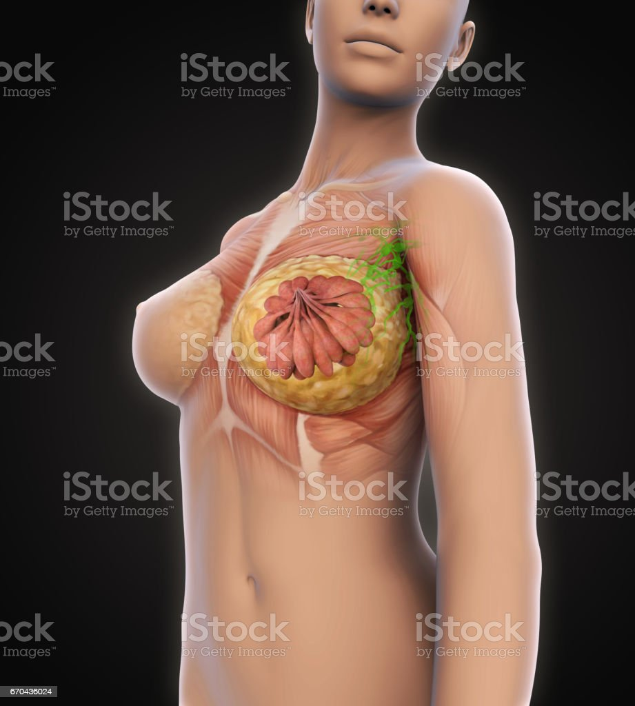 Female Breast Anatomy stock photo