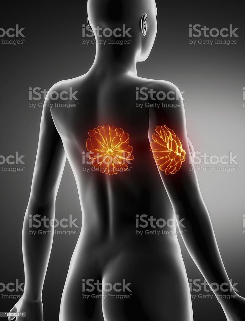 Weibliche Brüste Anatomie Xray Hintere Blick Stock-Fotografie und ...