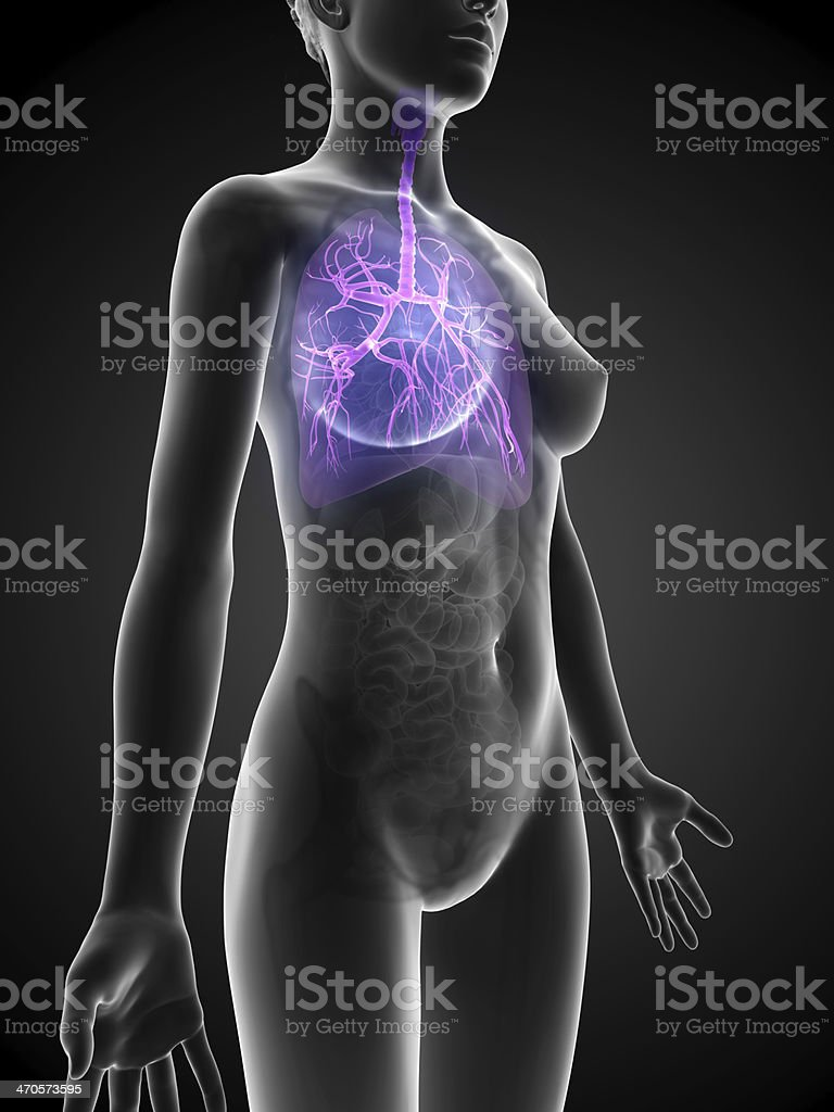 female bronchi stock photo