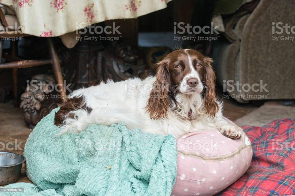 A female brown and white springer spaniel sitting on a beanbag in a kitchen in the UK stock photo