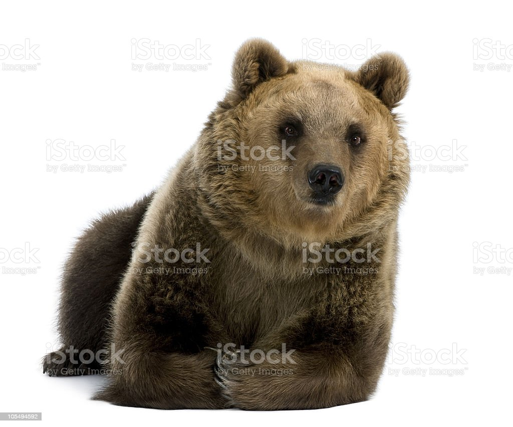 Female Brown Bear, 8 years old, lying down stock photo