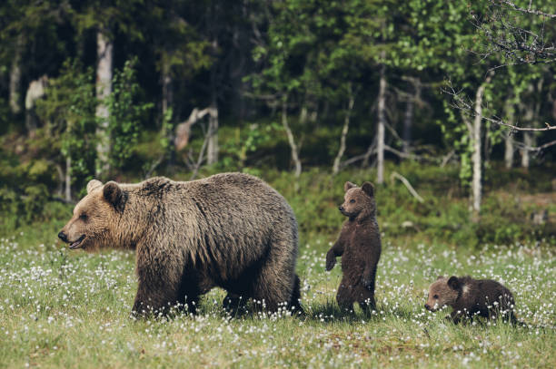 Female brown bear and her cubs, matte style. stock photo
