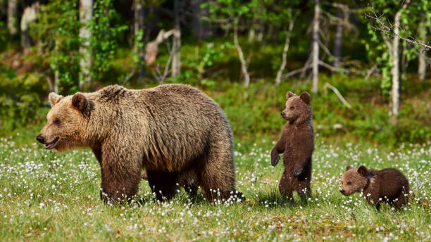 Female brown bear and her cubs Mother bear protects her three little puppies in the finnish taiga animal family stock pictures, royalty-free photos & images