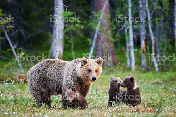 Female brown bear and her cubs picture id654079900?b=1&k=6&m=654079900&s=612x612&h=h4h06taiejpvmakmsbokmu2dezm45kuydsuaeghnv c=