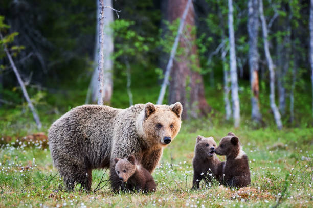female brown bear and her cubs - forest animals stock photos and pictures