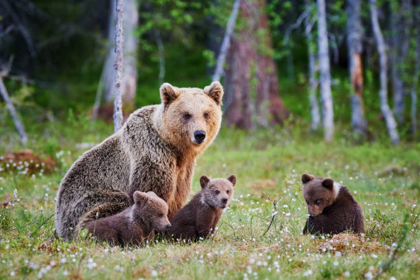 Female brown bear and her cubs stock photo
