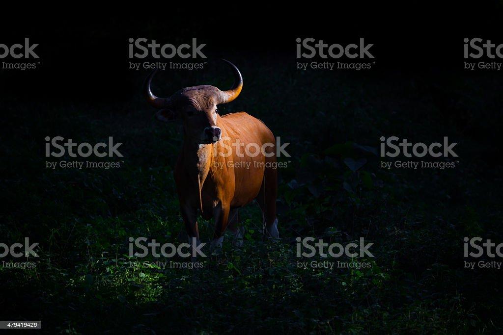 Female Banteng (Bos javanicus stock photo