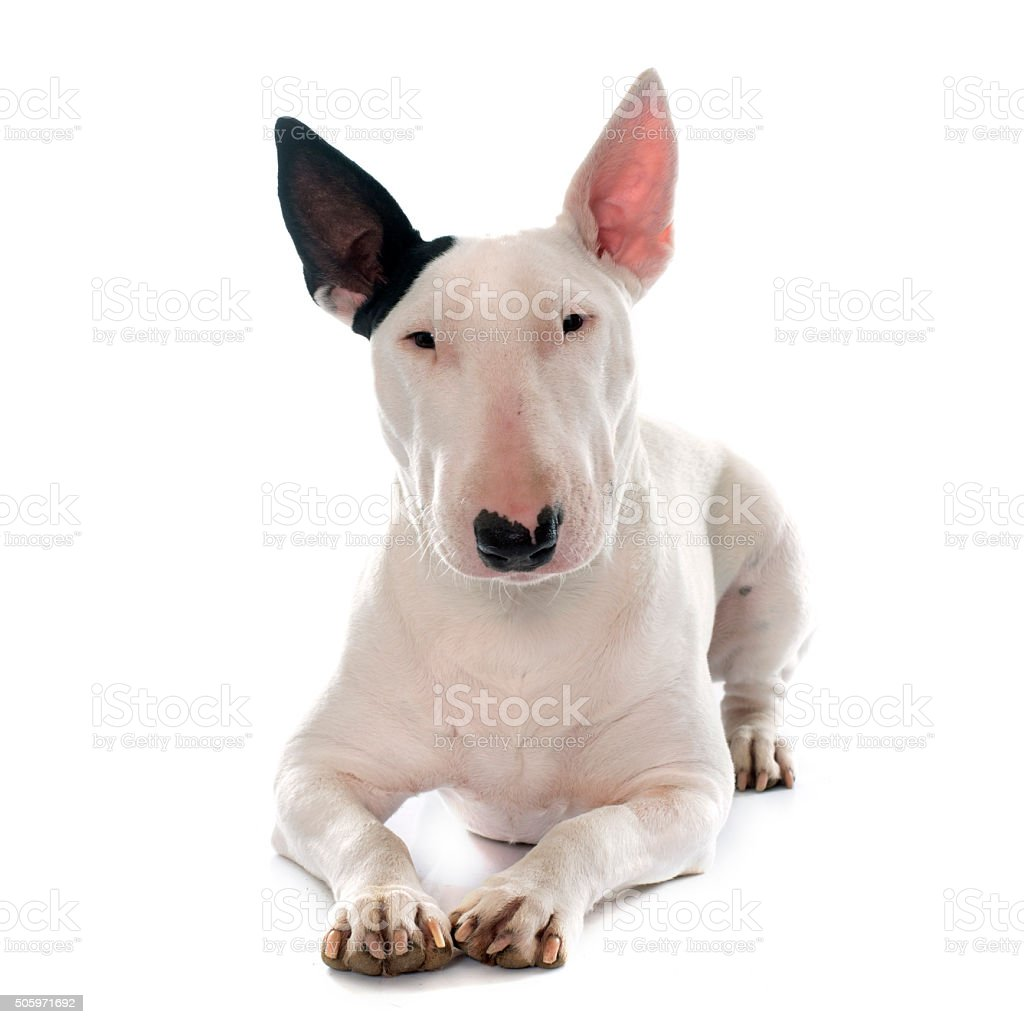 Female Bull Terrier Stock Photo & More Pictures of Animal | iStock