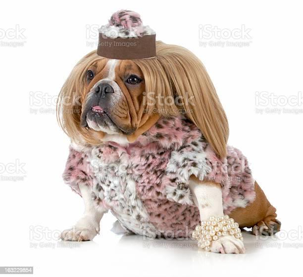 Female bulldog picture id163229854?b=1&k=6&m=163229854&s=612x612&h=c2y3hpcvd0x7 jnyoor ujkl9enxrgxky8moas33odg=