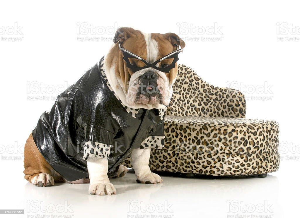 female bulldog royalty-free stock photo