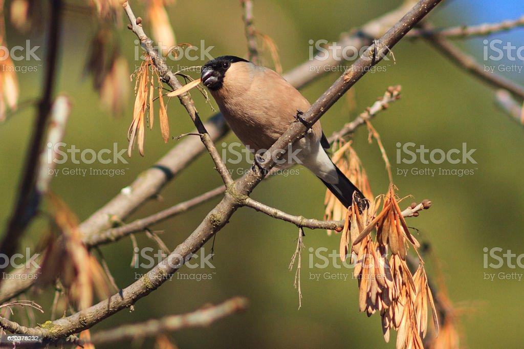 female bullfinch eats dry maple seeds foto de stock royalty-free