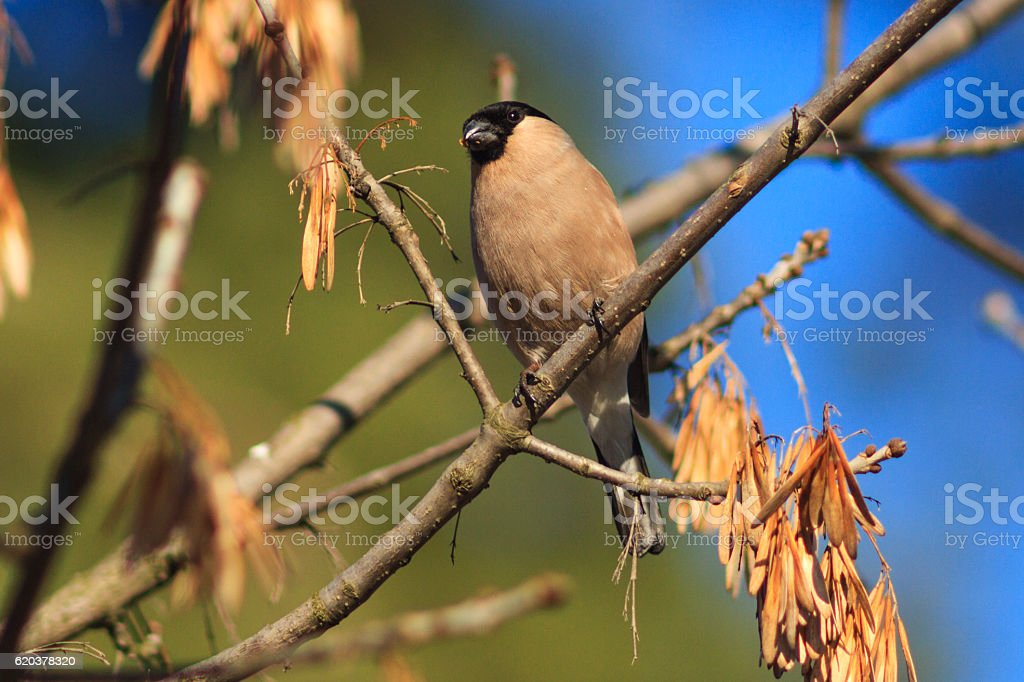 female bullfinch sits among the branches of the tree zbiór zdjęć royalty-free